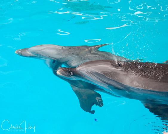 Two Dolphins at Sea World, San Antonio