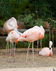 Flamingoes -- Sea World, San Antonio