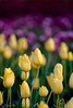 IMG_8077 Wooden Shoe Tulip Festival, Woodburn, Oregon Tulips, Wooden Shoe