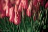 IMG_7824 Wooden Shoe Tulip Festival, Woodburn, Oregon Tulips, Wooden Shoe