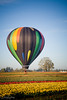 Hot Air Balloon over the Wooden Shoe Tulip Farm, Woodburn, Oregon