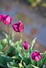 IMG_7810 Wooden Shoe Tulip Festival, Woodburn, Oregon Tulips, Wooden Shoe