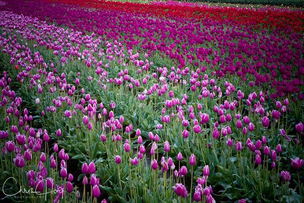 IMG_3986 Wooden Shoe Tulip Festival, Woodburn, Oregon Tulips, Wooden Shoe