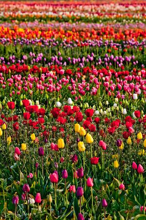 IMG_8115 Wooden Shoe Tulip Festival, Woodburn, Oregon Tulips, Wooden Shoe