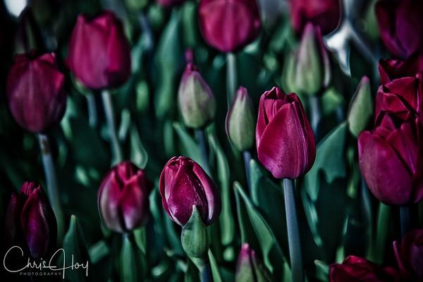 IMG_7391 Wooden Shoe Tulip Festival, Woodburn, Oregon Tulips, Wooden Shoe