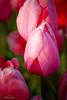 IMG_7814 Wooden Shoe Tulip Festival, Woodburn, Oregon Tulips, Wooden Shoe