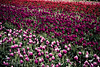 IMG_3985 Wooden Shoe Tulip Festival, Woodburn, Oregon Tulips, Wooden Shoe