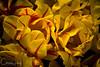 IMG_7843 Wooden Shoe Tulip Festival, Woodburn, Oregon Tulips, Wooden Shoe