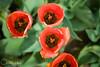 IMG_7677 Wooden Shoe Tulip Festival, Woodburn, Oregon Tulips, Wooden Shoe