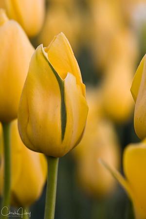 IMG_8092 Wooden Shoe Tulip Festival, Woodburn, Oregon Tulips, Wooden Shoe