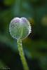 Schreiner's Iris Garden