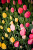 IMG_3841 Wooden Shoe Tulip Festival, Woodburn, Oregon Tulips, Wooden Shoe