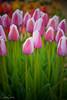 IMG_7764 Wooden Shoe Tulip Festival, Woodburn, Oregon Tulips, Wooden Shoe