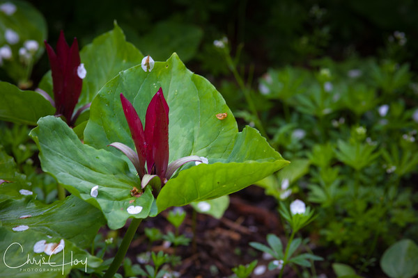 Trillium kurabayashii in the garden of Pat & Dave Eckerdt