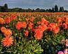 Swan Island Dahlias -- Canby, Oregon