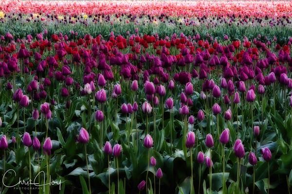 Wooden Shoe Tulip Festival, Woodburn, Oregon Tulips, Wooden Shoe
