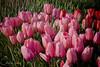 IMG_7374 Wooden Shoe Tulip Festival, Woodburn, Oregon Tulips, Wooden Shoe