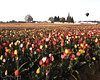 Wooden Shoe Tulip Festival, Woodburn, Oregon Tulips, Wooden Shoe