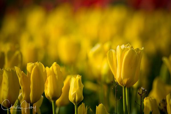 Sea of Yellow -- Wooden Shoe Tulip Festival, Woodburn, Oregon