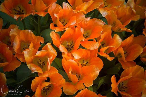 IMG_7650 Wooden Shoe Tulip Festival, Woodburn, Oregon Tulips, Wooden Shoe