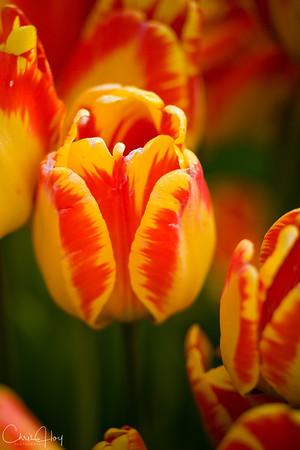 IMG_8150 Wooden Shoe Tulip Festival, Woodburn, Oregon Tulips, Wooden Shoe