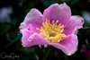 Wild Rose, William Finley National Wildlife Refuge