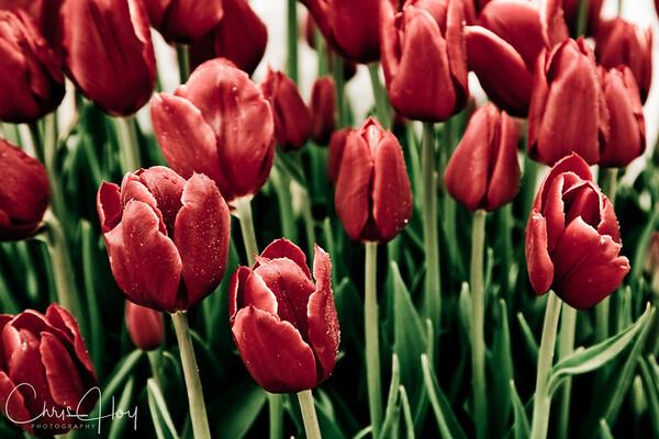 IMG_7755 Wooden Shoe Tulip Festival, Woodburn, Oregon Tulips, Wooden Shoe