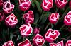 IMG_4008 Wooden Shoe Tulip Festival, Woodburn, Oregon Tulips, Wooden Shoe