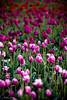 IMG_8082 Wooden Shoe Tulip Festival, Woodburn, Oregon Tulips, Wooden Shoe