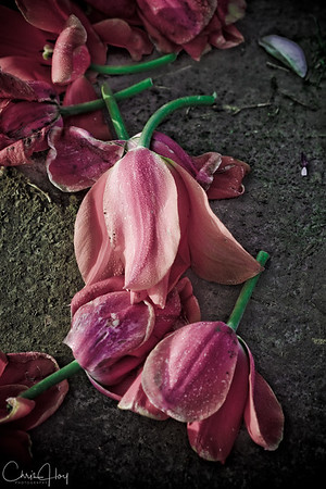 IMG_7801 Wooden Shoe Tulip Festival, Woodburn, Oregon Tulips, Wooden Shoe