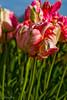 IMG_8285 Wooden Shoe Tulip Festival, Woodburn, Oregon Tulips, Wooden Shoe