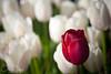 IMG_7389 Wooden Shoe Tulip Festival, Woodburn, Oregon Tulips, Wooden Shoe