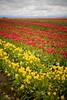 IMG_7718 Wooden Shoe Tulip Festival, Woodburn, Oregon Tulips, Wooden Shoe