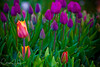 Tulips at the Wooden Shoe Tulip Festival