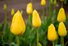 IMG_3837 Wooden Shoe Tulip Festival, Woodburn, Oregon Tulips, Wooden Shoe