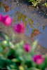 IMG_7809 Wooden Shoe Tulip Festival, Woodburn, Oregon Tulips, Wooden Shoe