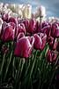 IMG_8259 Wooden Shoe Tulip Festival, Woodburn, Oregon Tulips, Wooden Shoe