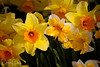 Daffodils at the Wooden Shoe Tulip Festival