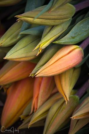 Homeward Bound -- Wooden Shoe Tulip Festival, Woodburn, Oregon