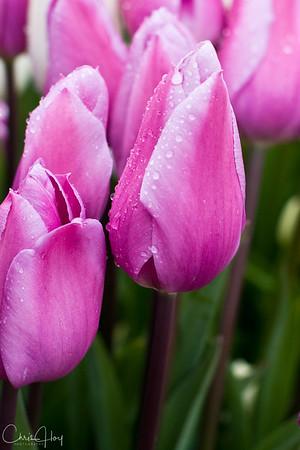 IMG_3863 Wooden Shoe Tulip Festival, Woodburn, Oregon Tulips, Wooden Shoe