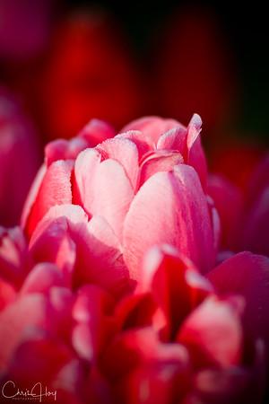 IMG_7818 Wooden Shoe Tulip Festival, Woodburn, Oregon Tulips, Wooden Shoe