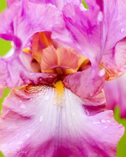 Iriscloseup.jpg
