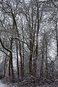 Snowy Trees in my Yard