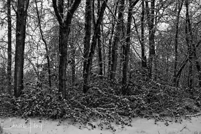 Snowy Trees in my yard