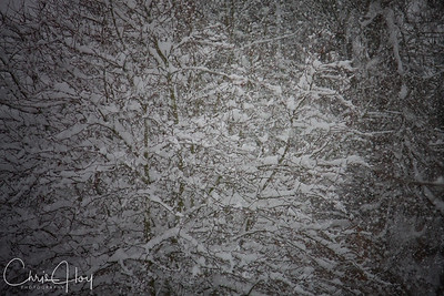 Snowy Tree in my backyard