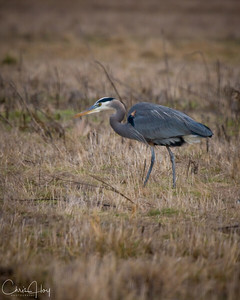 Great Blue Heron at Ridgefield NWR