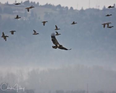 Immature Bald Eagle over Ankeny NWR