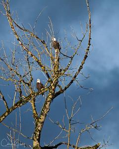 Bald Eagles at Ankeny NWR