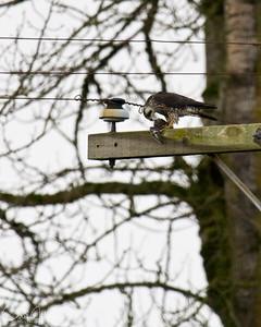 Peregrine Falcon eating a Dunlin at Ankeny NWR