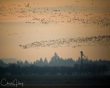 Canada Geese at Ankeny NWR